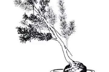 罗汉松曲干式盆景的制作 图解