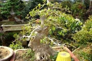 在客厅养殖榔榆盆景 对风水最好