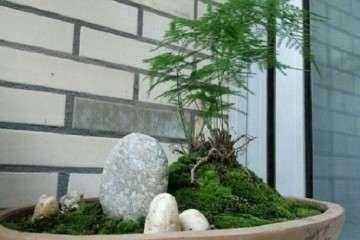 文竹盆景的造型有丛林式和水旱式两种