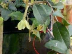 金弹子下山桩在九月份开花正常吗 图片
