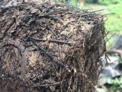 金弹子下山桩土壤怎么配方 比沙子好用的方法