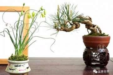 上海植物园盆景园负责人 王娟
