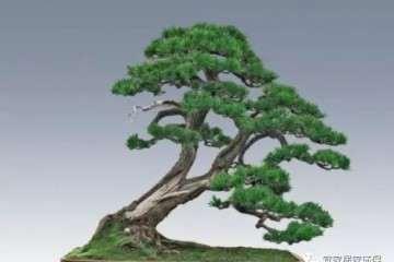 松树盆景冻根 可能是这4点没做好 阳光与施肥
