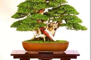 丛林盆景怎样选盆与移栽的方法
