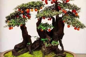 金弹子树怎么蟠扎制作成盆景