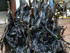 这棵丛林碳化金弹子下山桩 有人出价格1万8