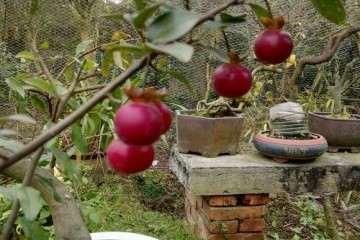 金弹子盆景的盆土选择与上盆栽种