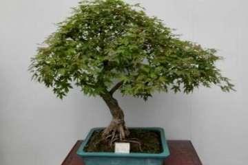 五角枫盆景芽苗的移栽技巧