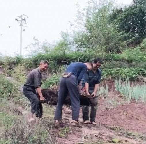 大叔山上挖到一棵碳化丛林金弹子下山桩