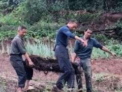 大叔山上挖到一棵碳化丛林金弹子下山桩 卖了1万8