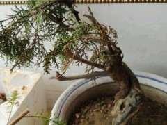 崖柏下山桩有什么发根发芽的栽培技术 图片