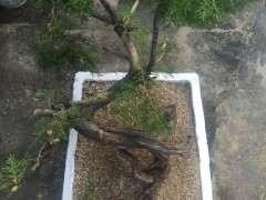 崖柏下山桩怎么用石头沙子生根剂养活发芽