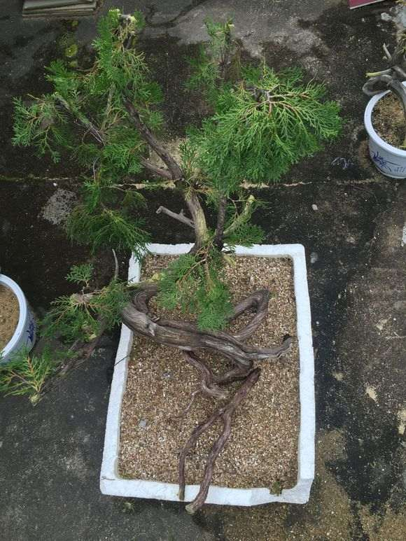 崖柏下山种植方法参考柏树扦插的做法