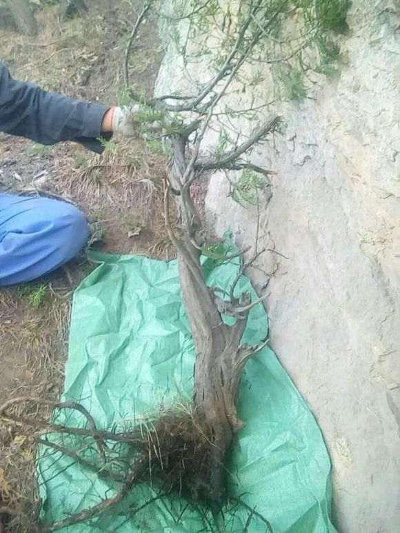 野生崖柏下山桩根系周围土壤的酸碱度吗
