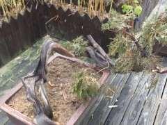 怎麼栽培崖柏下山樁 土壤用40%赤玉土和60%河沙