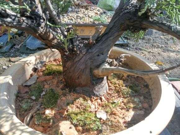 崖柏下山桩 全是黄泥土栽种