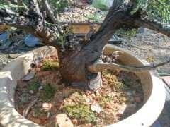 崖柏下山桩可以全是黄泥土栽种吗 图片