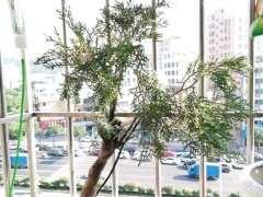 怎么在深圳种植崖柏下山桩 可以发芽吗 图片
