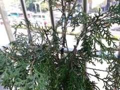 深圳冬天崖柏下山桩用什么方法可以发芽 图片