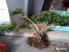 冬季怎么栽种黄杨下山桩 注意4个方法 图片