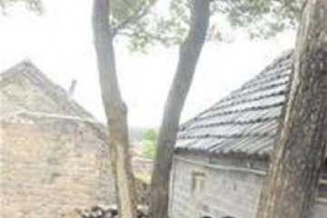 青岛黄杨盆景 曾有人出20万要买