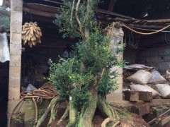 房子高的黄杨下山桩被贱卖 2000元价格卖了
