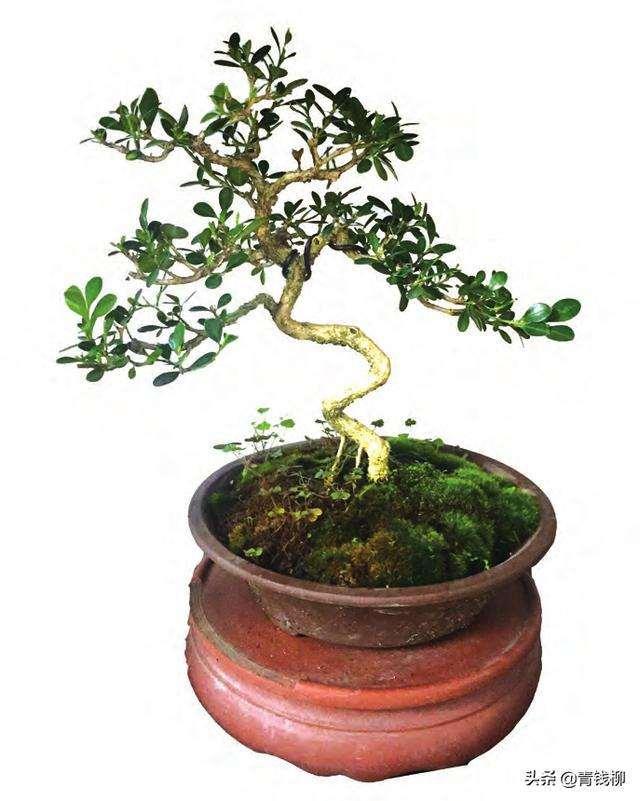 如何制作小叶黄杨盆景的单干造型