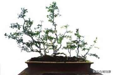 如何制作小叶珍珠黄杨盆景的单干造型