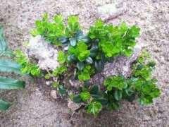 图解 黄杨下山桩怎么快速生根发根的方法