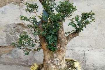 修剪大叶珍珠黄杨盆景是为了截枝蓄干 枝干长粗