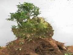 黄杨下山桩怎么发芽 3个方法 图片