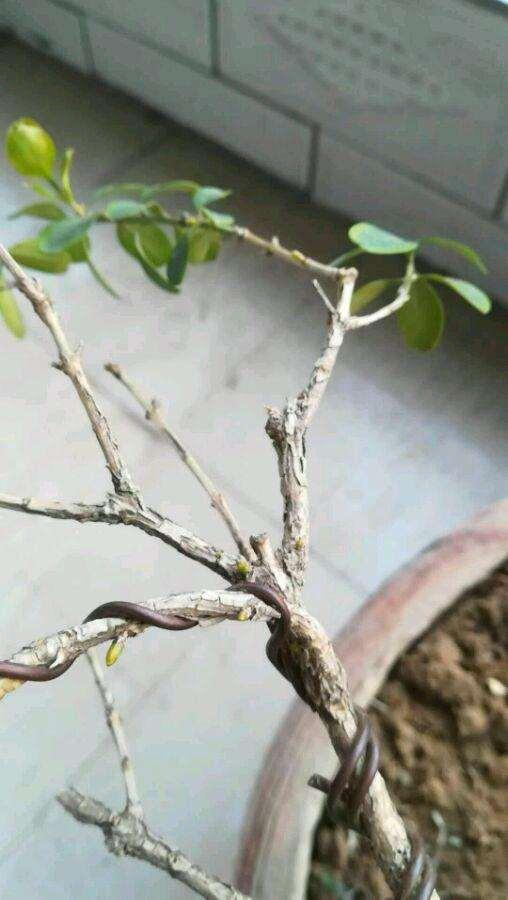 有什么办法能给黄杨下山桩发芽逼芽么