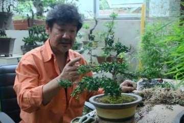 栽种黄杨盆景一般生长个2年就可以换盆