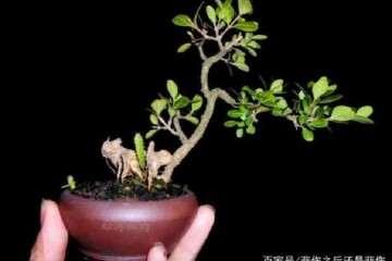 黄杨老桩盆景移栽后怎样种植养护的方法