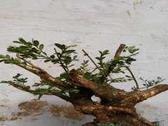 怎么养护黄杨下山桩 什么方法最有效 图片