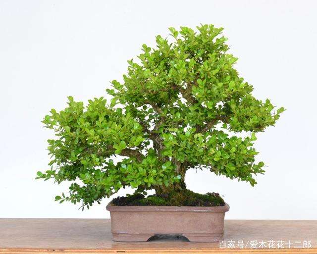 一棵小叶黄杨盆景的20年变化