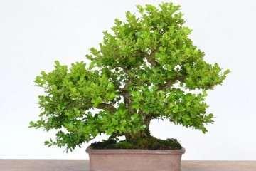 图解 一棵小叶黄杨盆景的20年变化 7幅