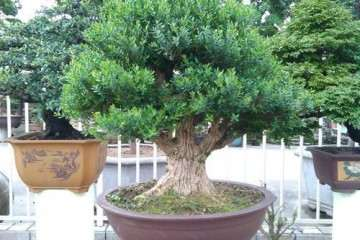 雀舌黄杨盆景种植过程中需要了解的3个技巧