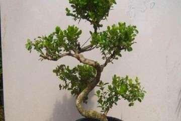 黄杨盆景什么时候造型 怎么造型?