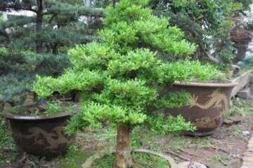 小叶黄杨盆景叶子发黄 通常是这5个原因