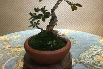 黄杨修剪后的枝条 可以制作成扦插盆景