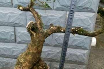 小叶黄杨老桩盆景的枝干怎样养护 图片