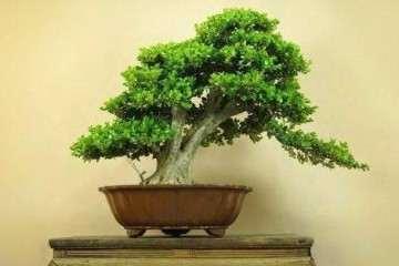 黄杨盆景在土壤上的养护技巧