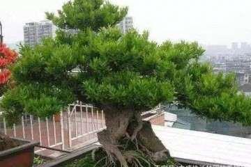 三米高的雀舌黄杨盆景是如何养成的?