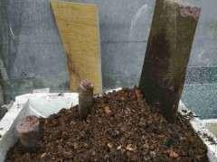 下山桩截口出没有芽点怎么办  那出芽吗?