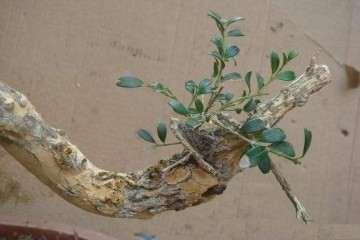 雀舌黄杨盆景叶子光秃秃的 不出芽 怎么办