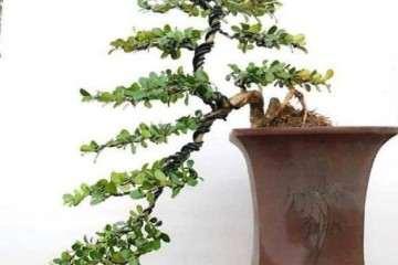 雀舌黄杨盆景怎么选土喷水上盆的方法