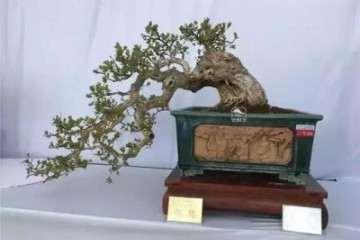 黄杨盆景的土壤要求与繁殖方法