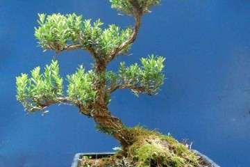 如何在春季做好黄杨盆景的浇水施肥?