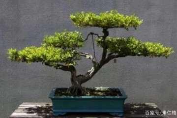 夏季黄杨盆景怎么翻盆浇水的5个方法